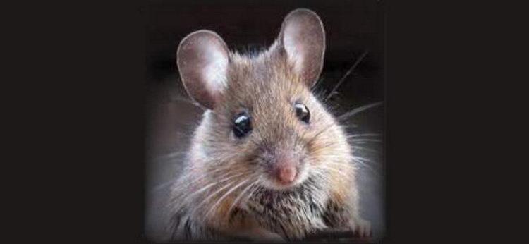 טיפים להדברת עכברים